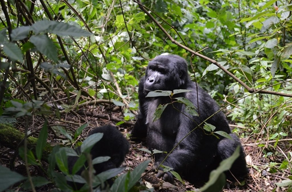 Rwanda gorilla sedan chairs