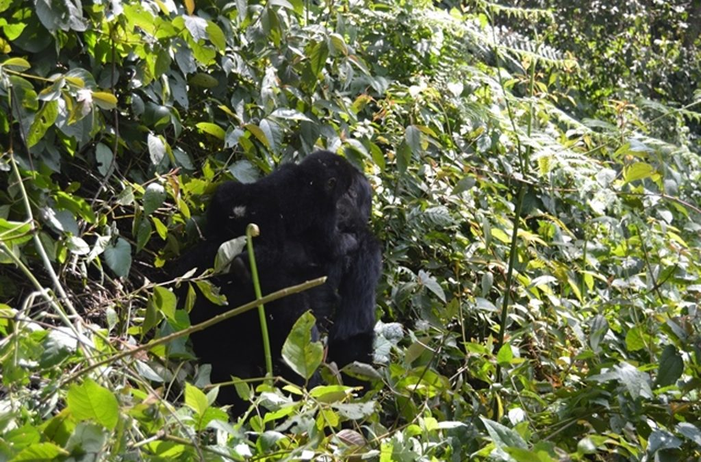 Is Mgahinga National Park safe for gorilla trekking