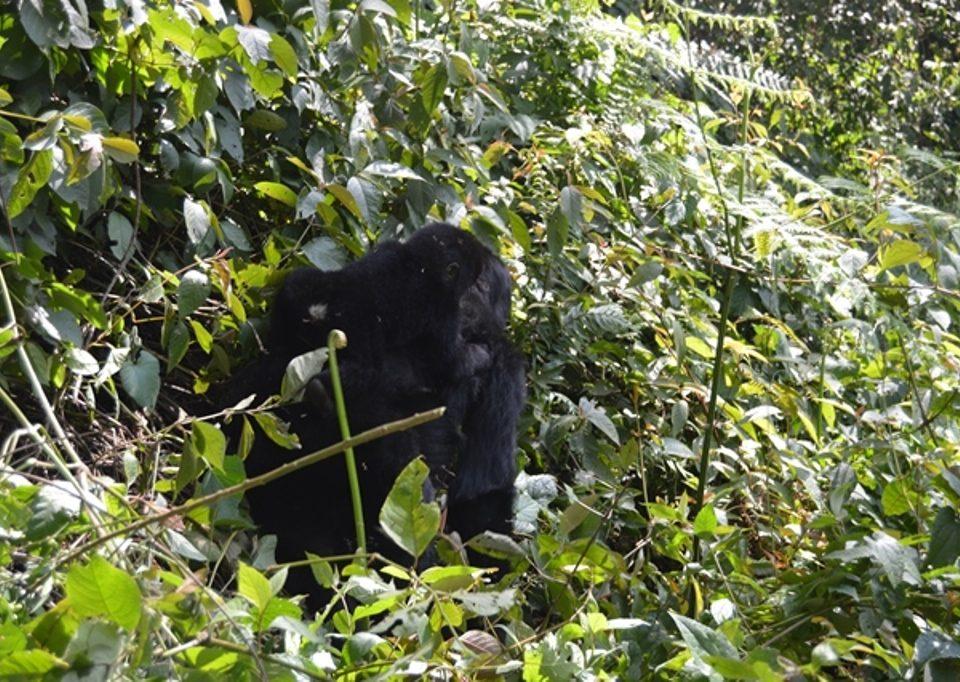 Is Mgahinga National Park safe for gorilla trekking