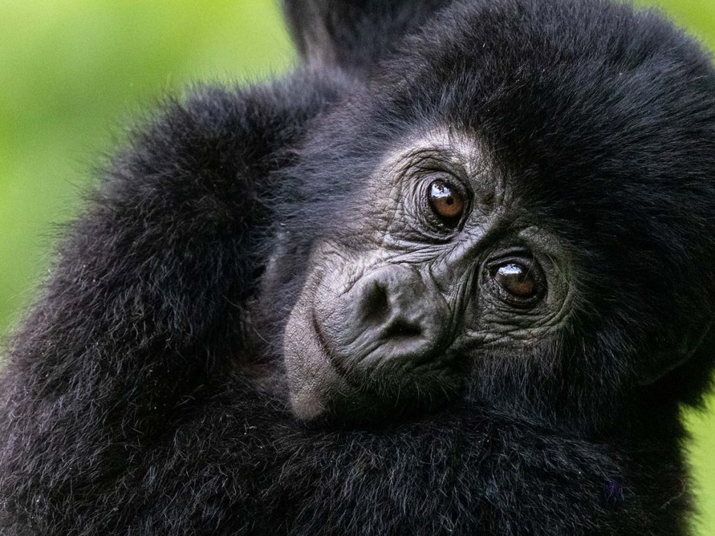 Gorilla Permits in Uganda increase price