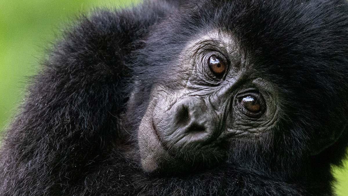 Gorilla Permits in Uganda increase price
