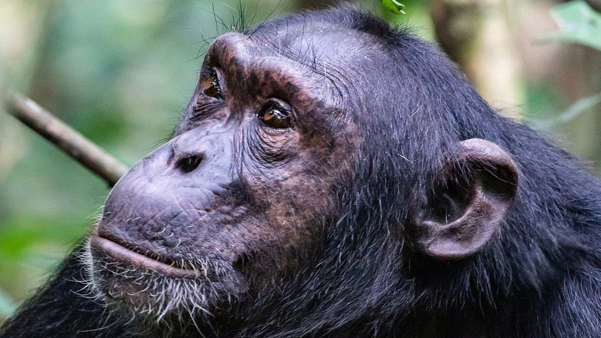 Chimpanzee Tracking permits Uganda - chimps in nyungwe national park