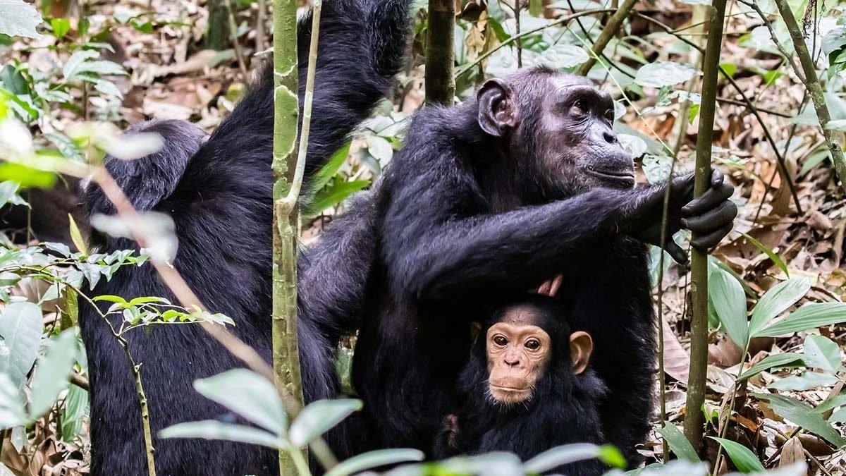 chimpanzees in Uganda - cnimpanzees in nyungwe national park