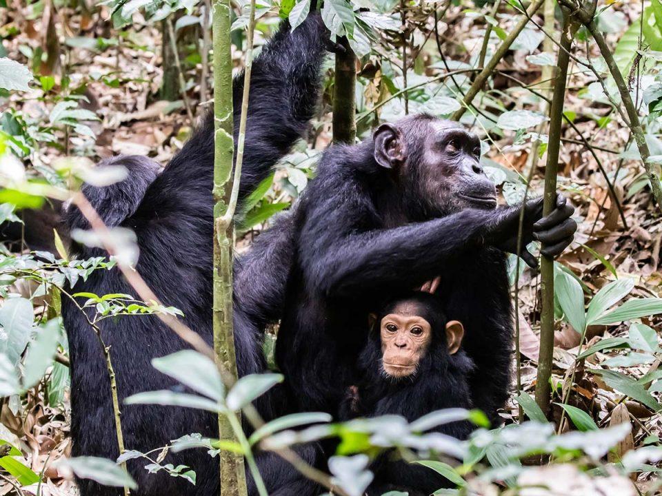 chimpanzees in Uganda - cnimpanzees in nyungwe national park