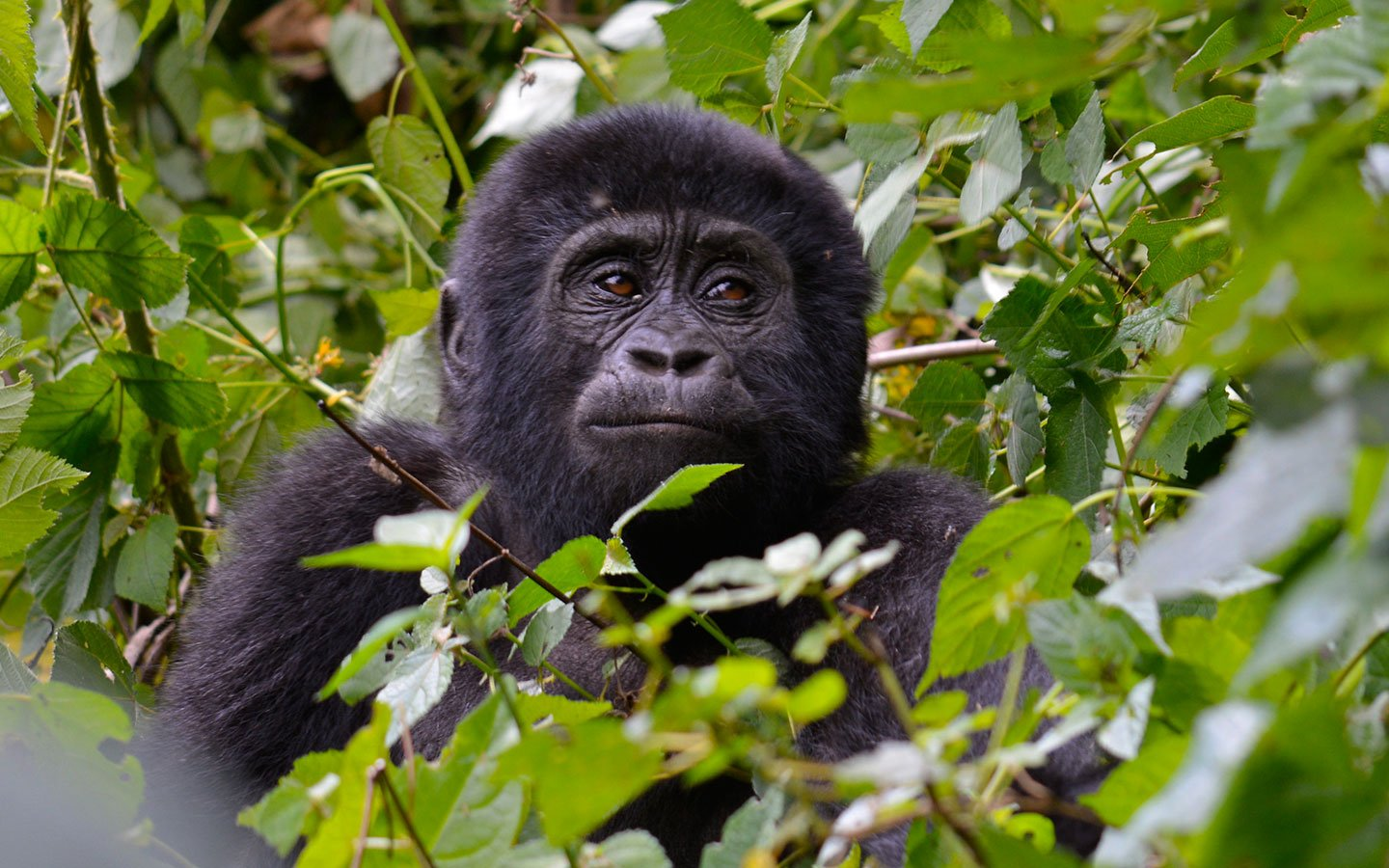 gorilla safaris in Uganda - About Uganda Gorillas
