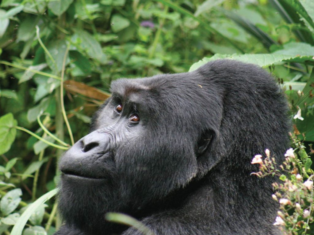 11 Day Uganda Gorillas, Chimps & Wildlife Safari