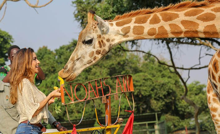 Feeding a Giraffe in UWEC Zoo Entebbe