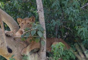 Queen-Elizabeth-National-Park-King-of-the-jungle