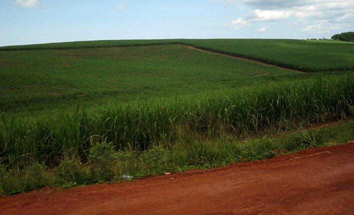 Sugar Plantations in Mabira
