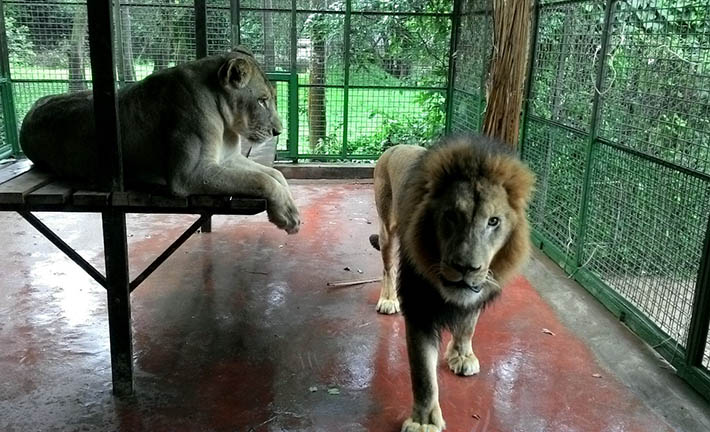 Lions in Entebbe UWEC Zoo