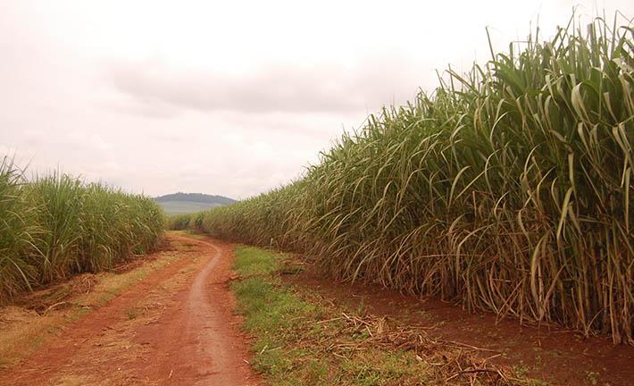 sugar plantations in Jinja