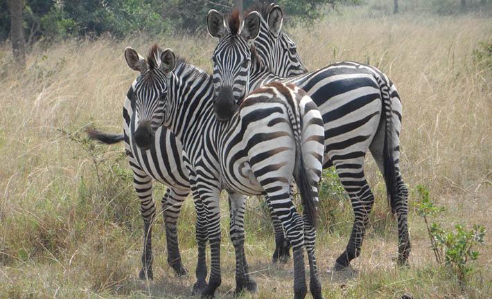 Zebras in Entebbe - Zebras in Kidepo