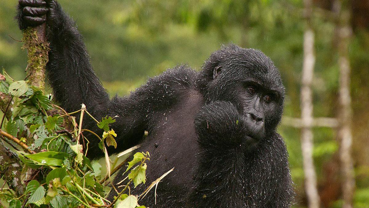 Gorilla permit price Uganda Rwanda and Congo