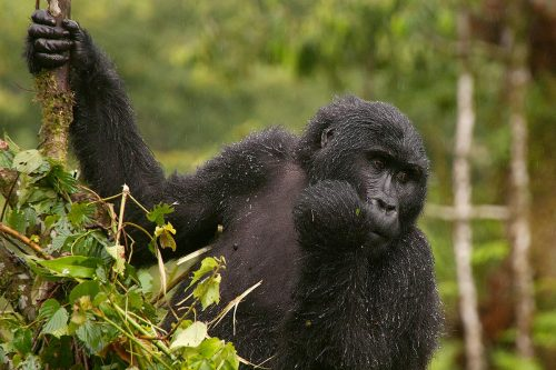 3 Day Bwindi Double Gorilla Trek Through Kigali