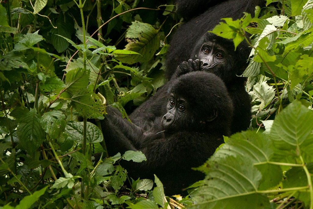 5 Day Gorilla Habituation and Chimp trekking Safari