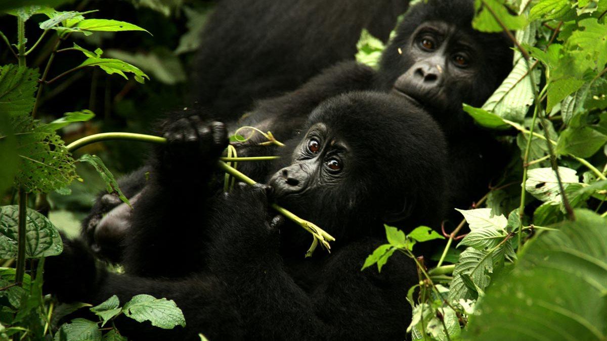 gorilla family - 2 Day Bwindi Gorilla Safari Through Kigali
