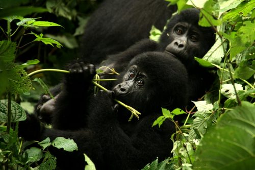 2 Day Bwindi Gorilla Safari Through Kigali