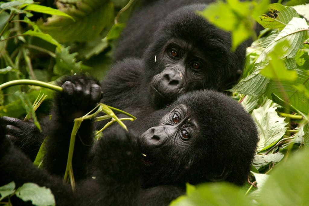 baby gorilla in bwindi