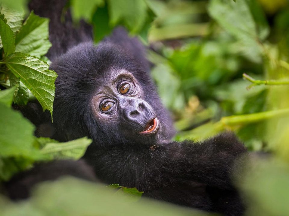 gorillas in Bwindi Impenetrable Forest - 11 Days Uganda-Rwanda Tour