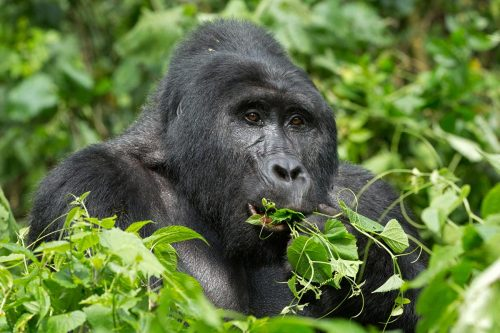 8 Days Gorilla Tracking Tour