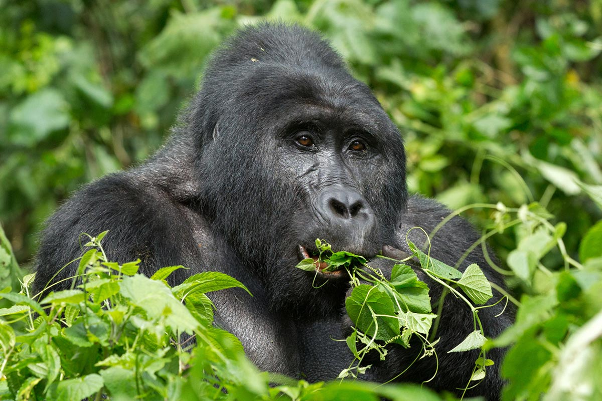 2 Day Luxury Bwindi Gorilla Safari Through Kigali