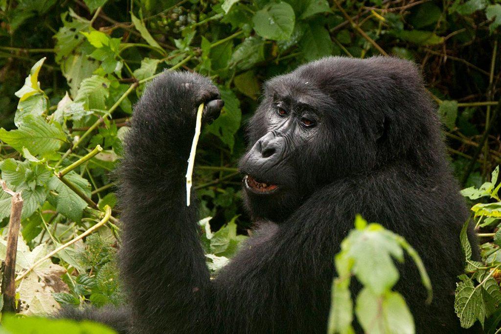 Uganda Gorillas - 4 Day Uganda Safari From Kigali