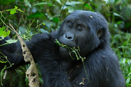 3 Day low season Uganda gorilla safari from kigali
