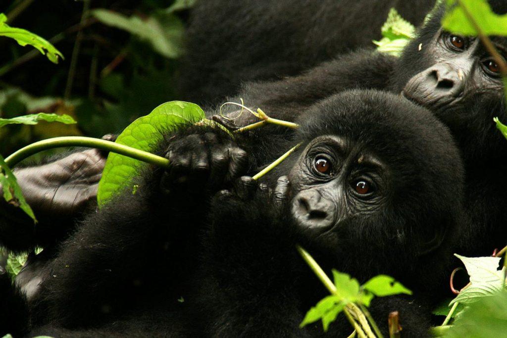 Rushegura Bwindi Gorilla Family