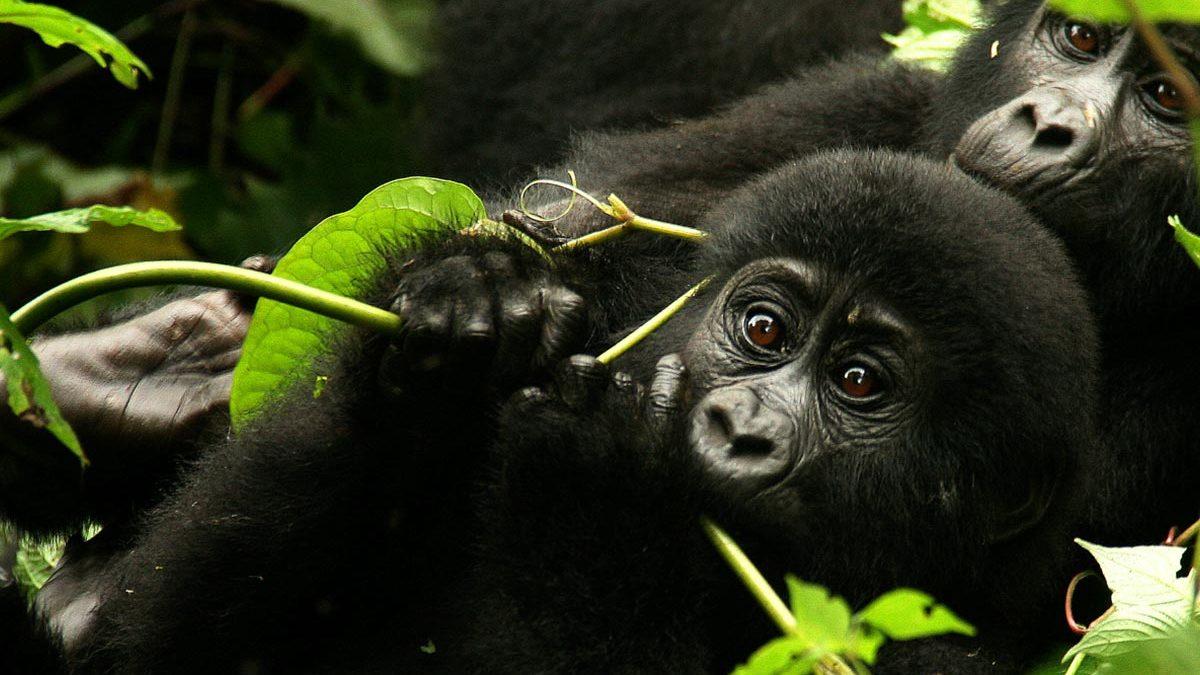 Luxury Gorilla Trekking Safaris Uganda Rwanda