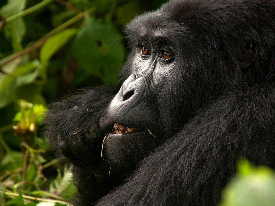 Endangered mountain gorillas
