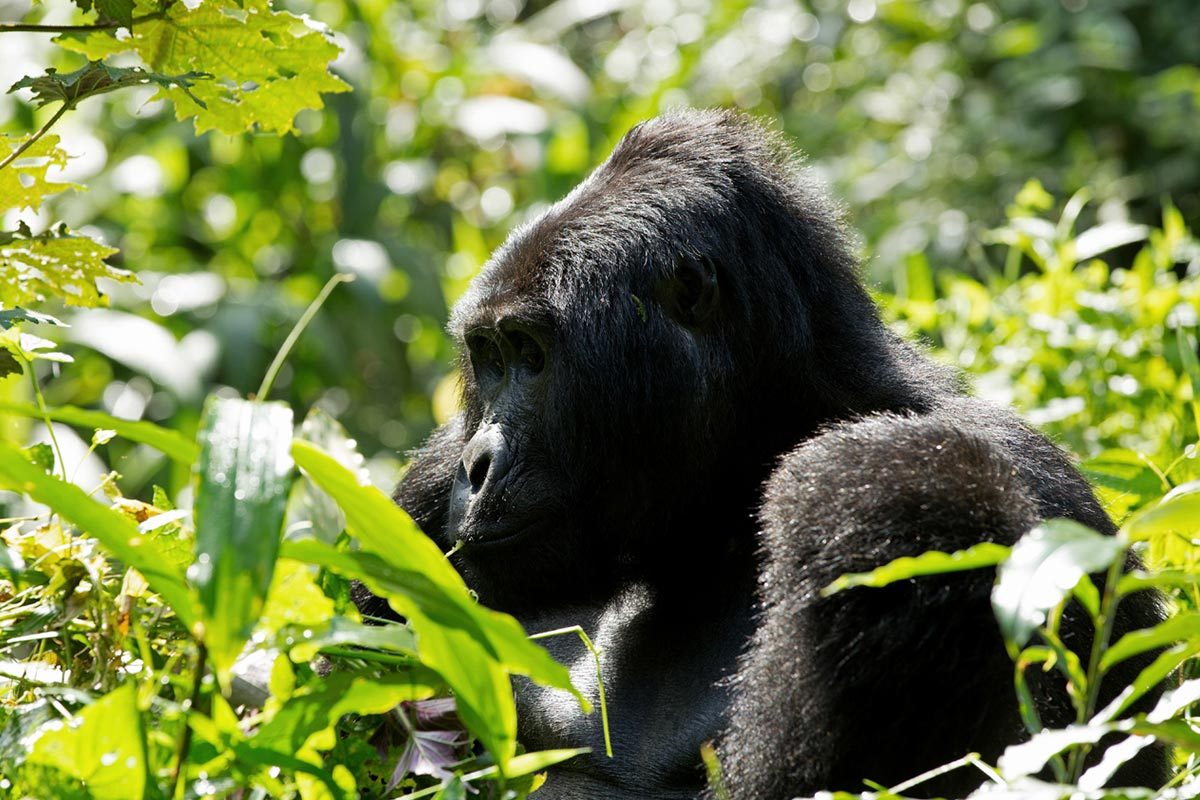 3 day Luxury Bwindi Gorilla Habituation Experience through kigali