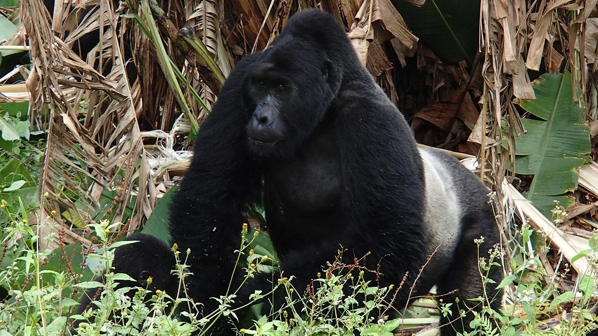 silverback in bwindi forest