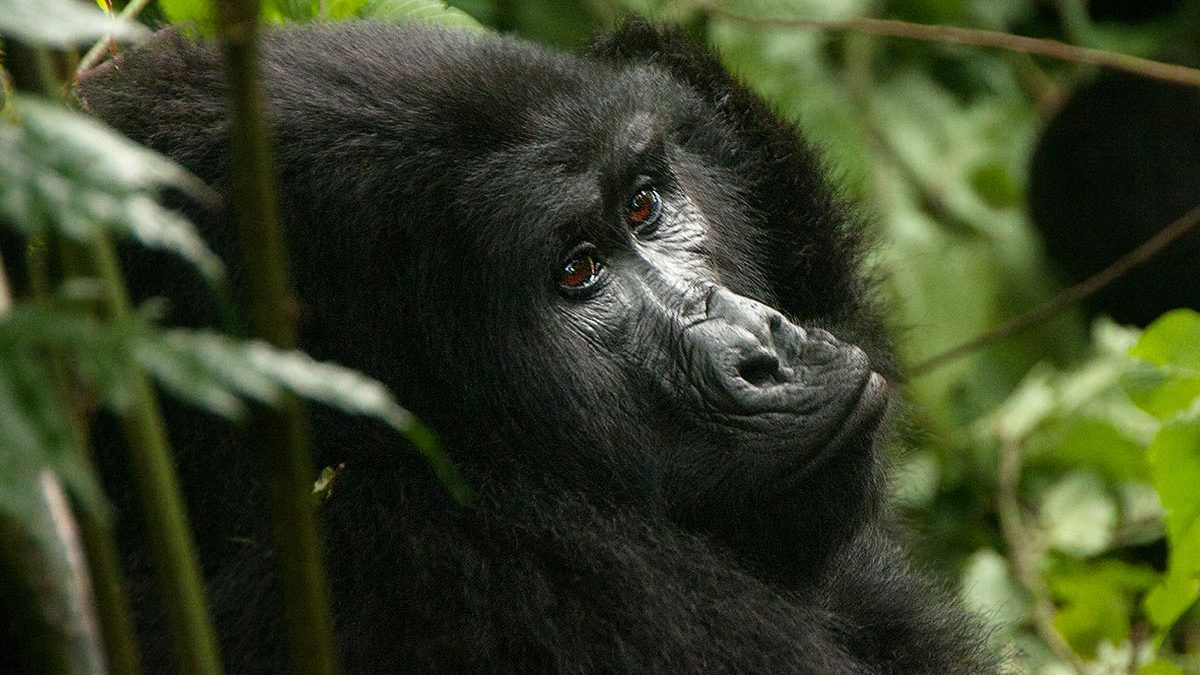 mountain gorillas in bwindi forest park