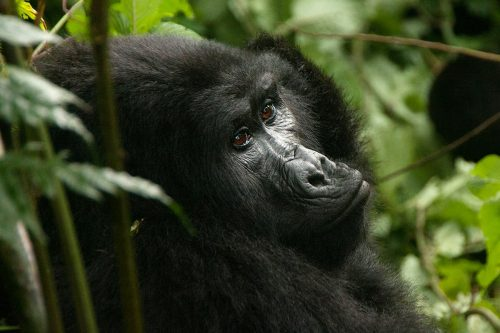3 Day Fly in Gorilla Habituation Experience Tour