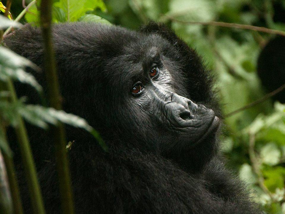 mountain gorillas in bwindi forest park