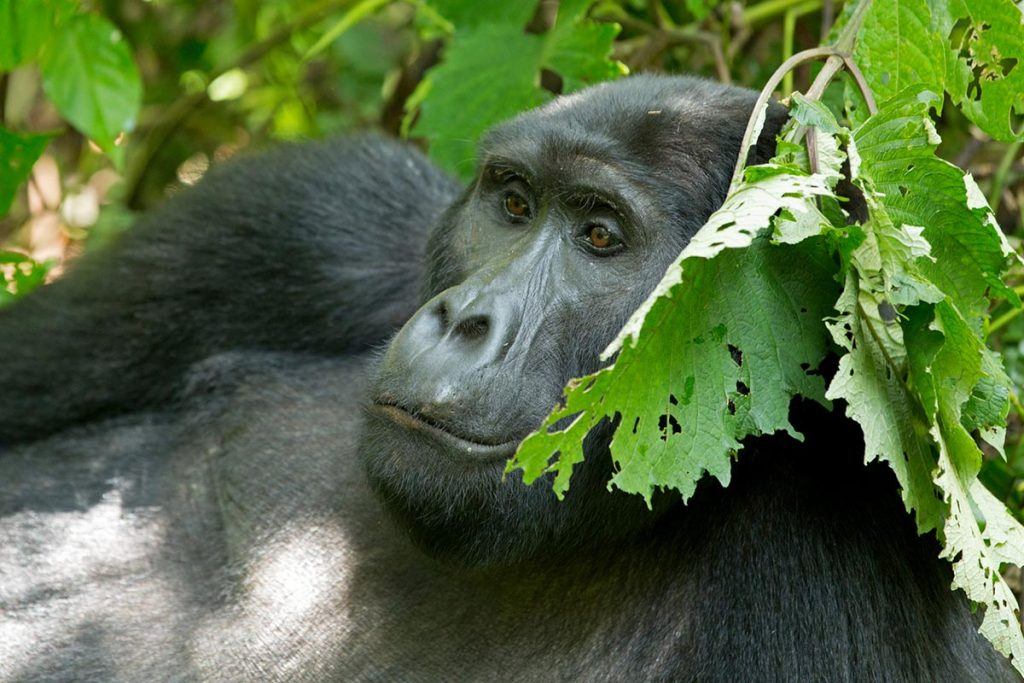 gorillas tracking in Bwindi Impenetrable Forest