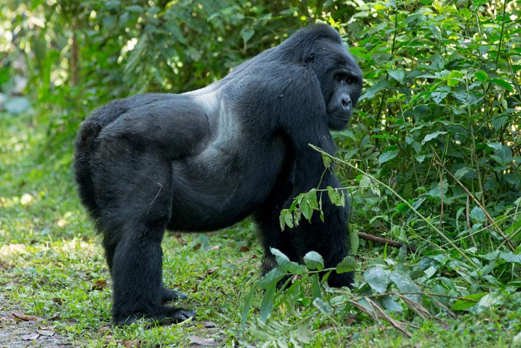 silverback in bwindi Impenetrable forest