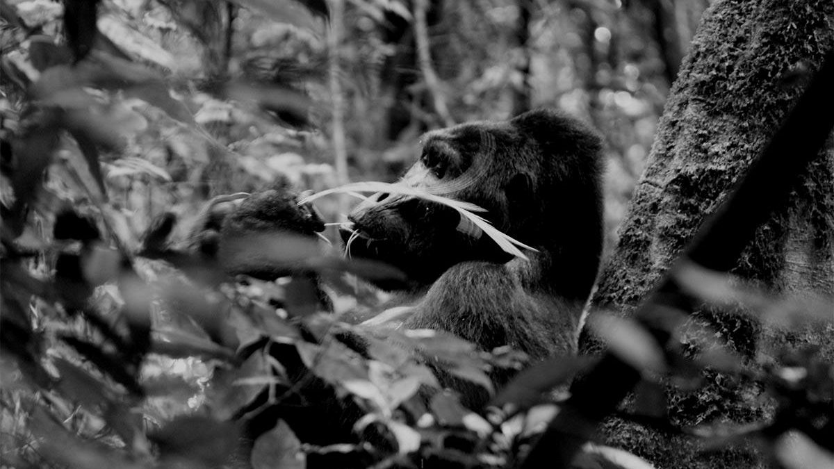 a guide to gorilla tracking in Bwindi impenetrable national park