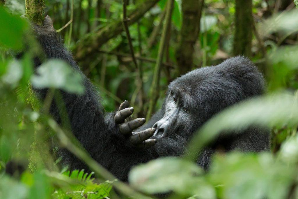 Habimanya Gorilla Family