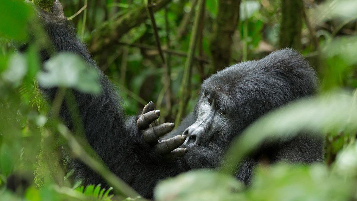 Gorillas in Uganda - 3 Day Uganda Gorilla Safari from Kigali