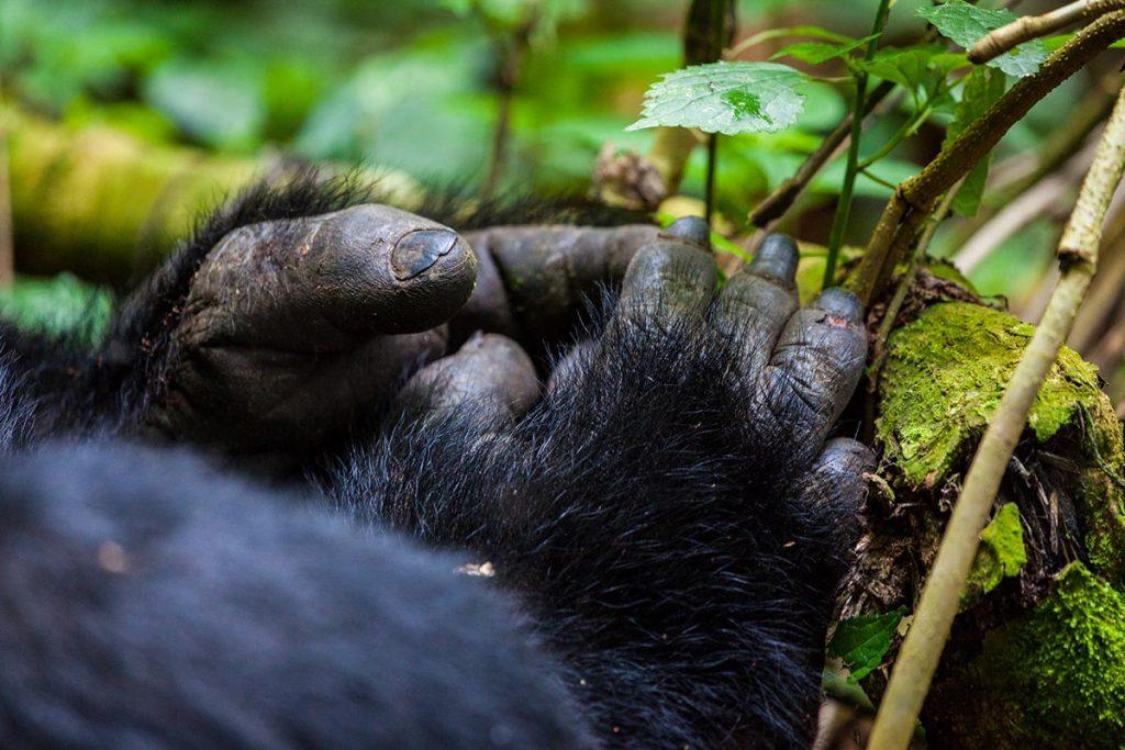 bwindi forest gorilla toes