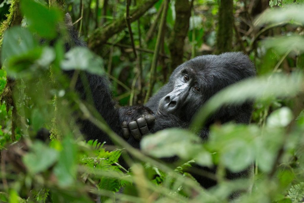 Choosing the right gorilla family - Easiest gorilla family to trek versus Gorilla family allocation