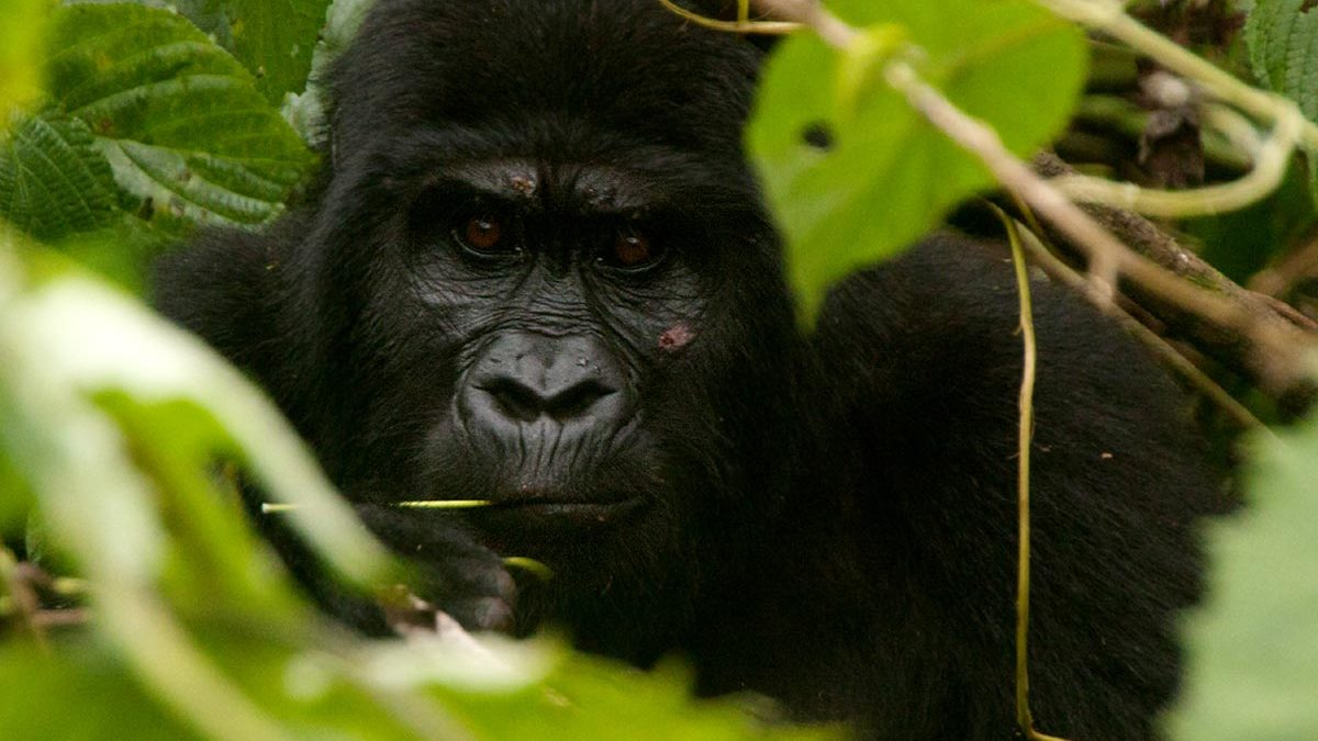 luxury gorilla trekking tour
