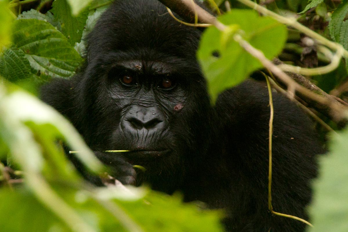 3 Day Luxury Bwindi Double Gorilla Trek Through Kigali