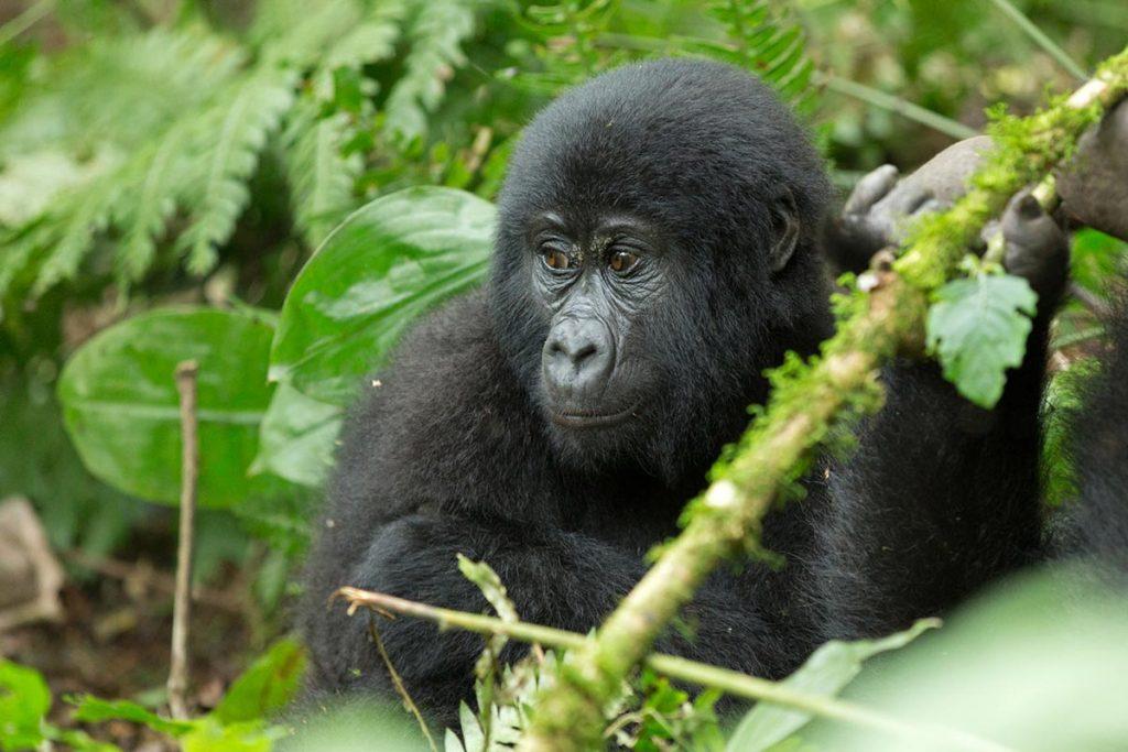 gorilla trekking rules