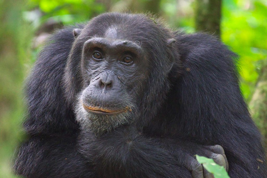 chimp hibituation