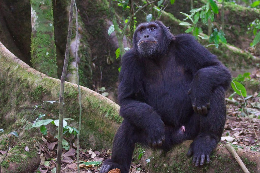 chimps in kibale - chimps in Nyungwe