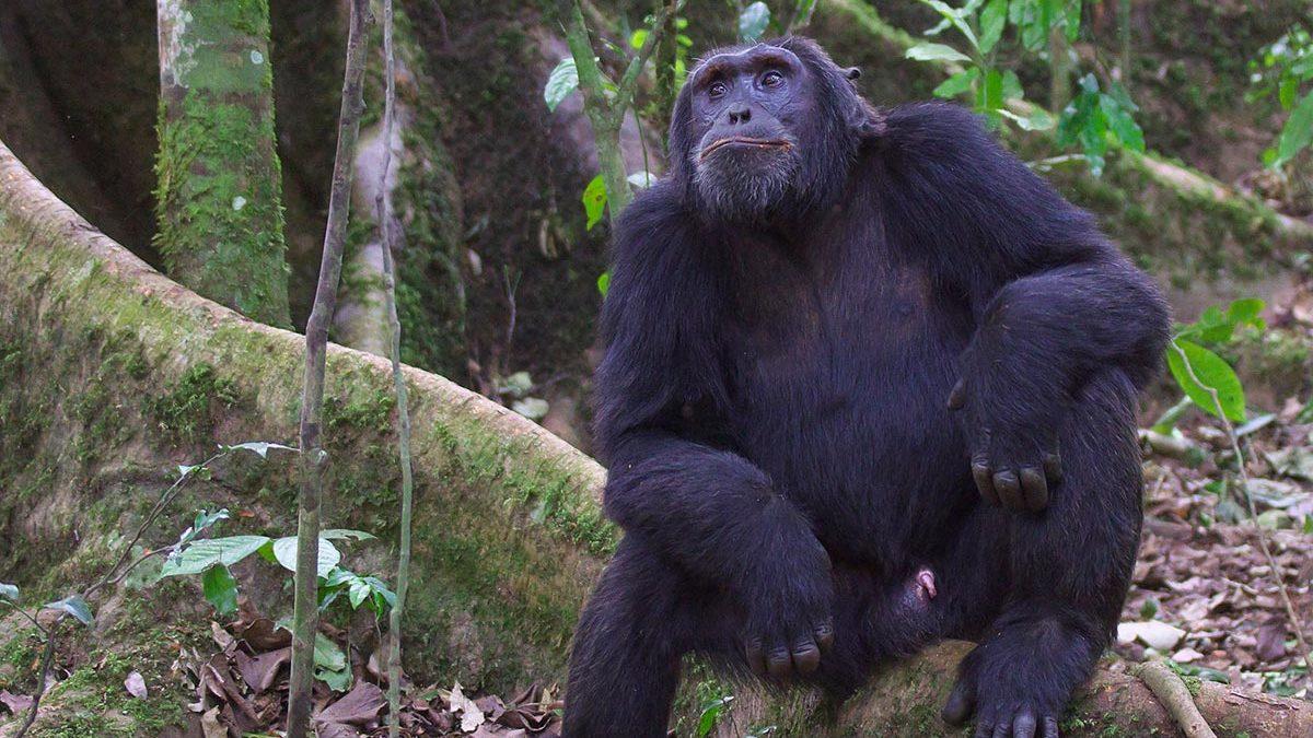chimps in kibale - chimps in Nyungwe