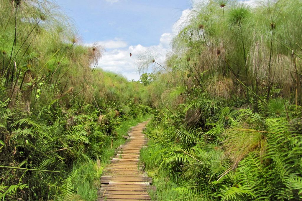 Swamp Walk- Bigodi, Kibale National Park