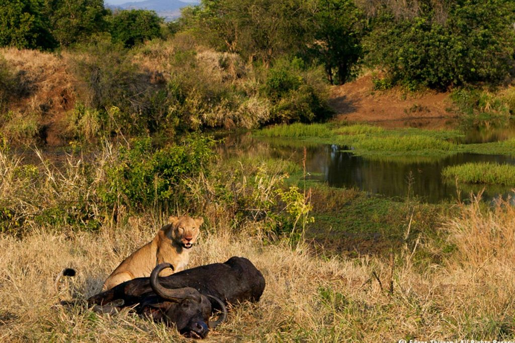 lions in kidepo Valley National park